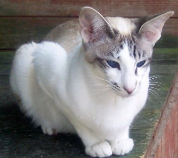 Adajan Teardrop, mother to many of our Seychellois cats