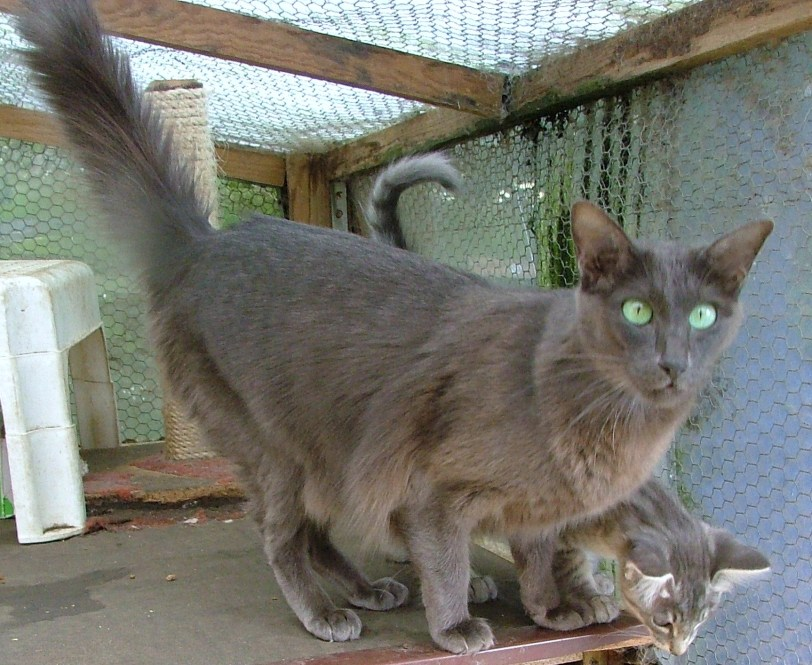 Bundook Blue Sioux with one of the kittens from her previous litter.